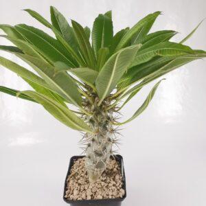 P. lamerei var. ramosum